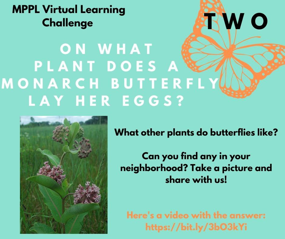 On what plant does a monarch butterfly lay her eggs?