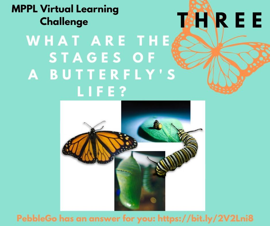 What are the stages of a butterfly's life?