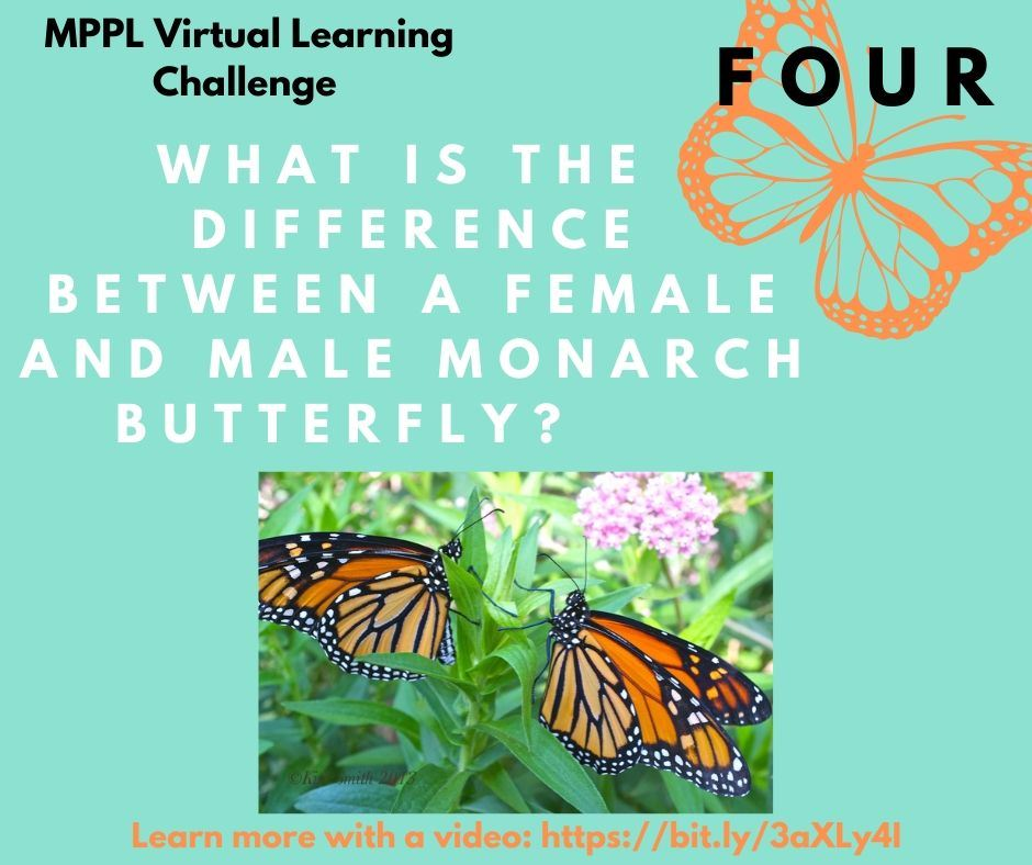 What is the difference between a female and male monarch butterfly?