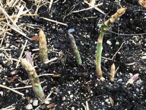 asparagus spears popping out of the ground