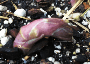 Unfurling asparagus spear
