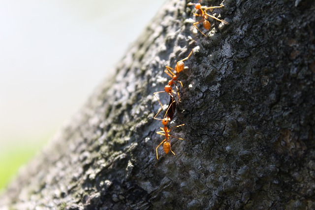 red ants on bark
