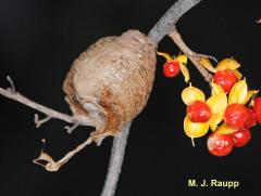 Chinese Mantis egg case