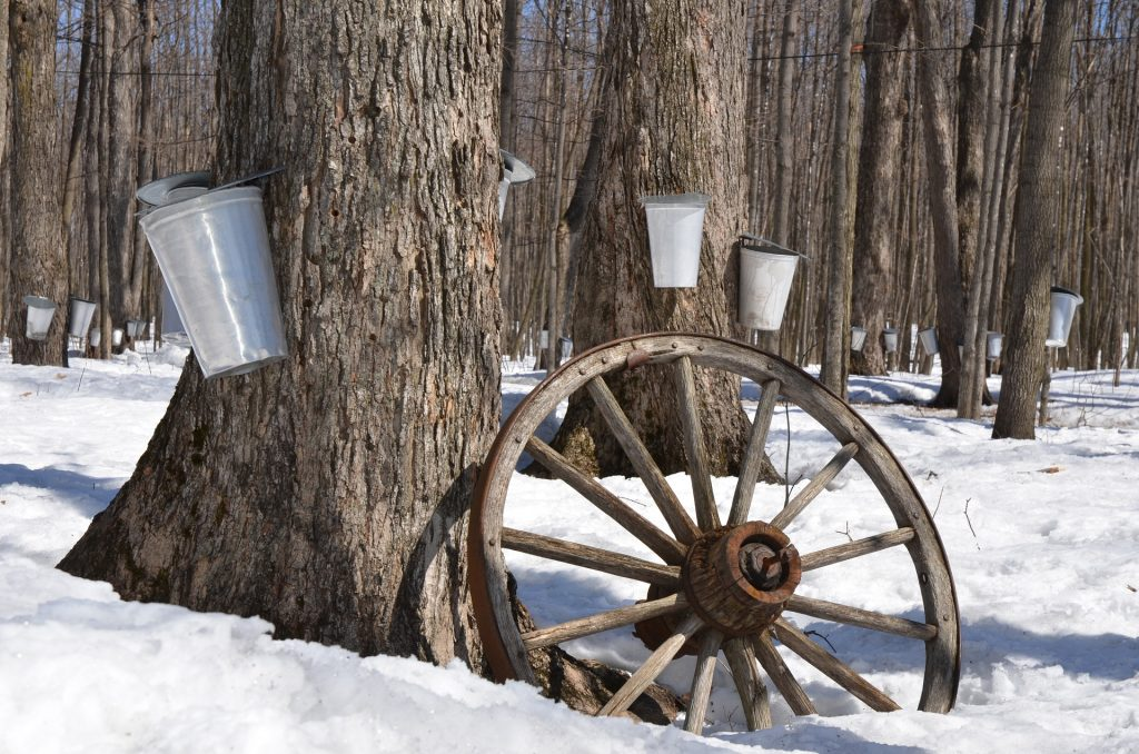 buckets collecting sap from maple trees in winter