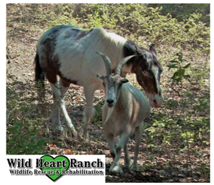 Jack and Charlie at wild heart ranch wildlife rescue and rehabilitation